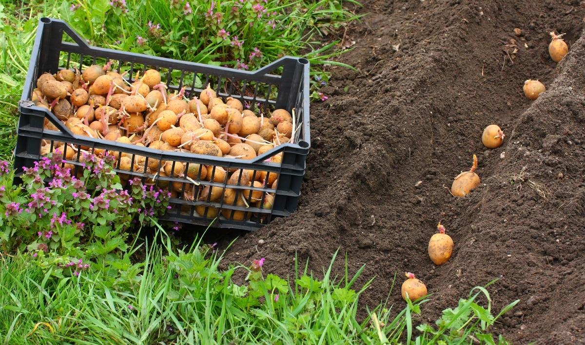 Можно сажать картошку 493