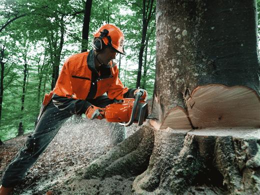 Правила валки деревьев бензопилой