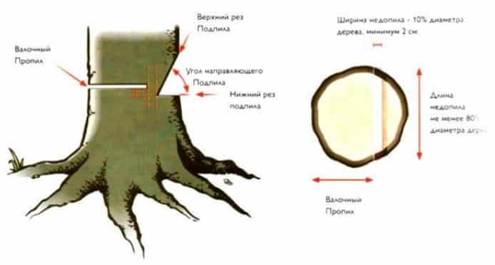 Схема, как правильно спилить дерево бензопилой?